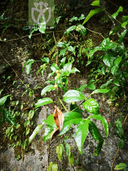 Euonymus hemsleyanus