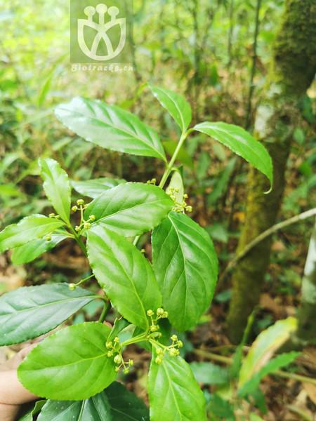 Glyptopetalum rhytidophyllum