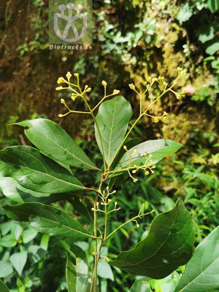 Phoebe glaucifolia