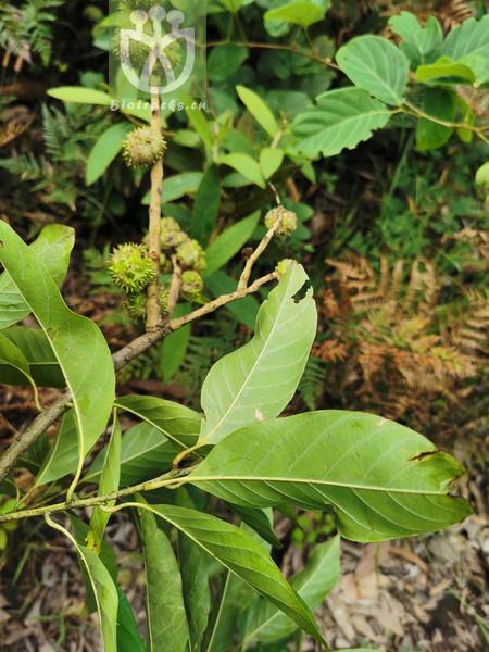 Castanopsis argyrophylla