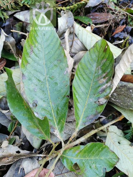 Lithocarpus echinotholus