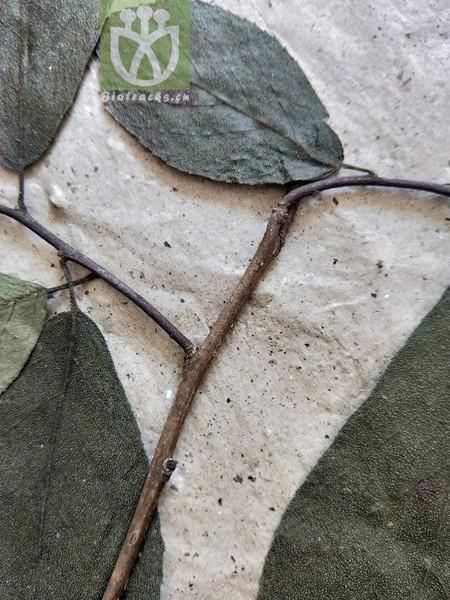 Ehretia pyrifolia