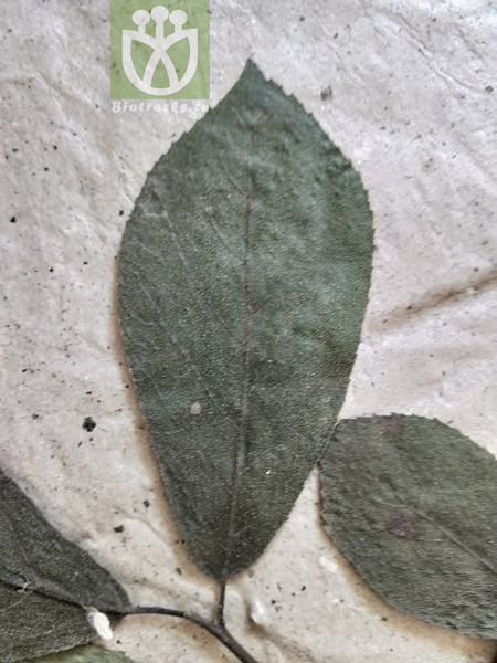 Ehretia acuminata var. polyantha
