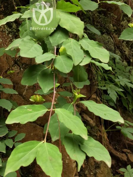 Euonymus schensianus
