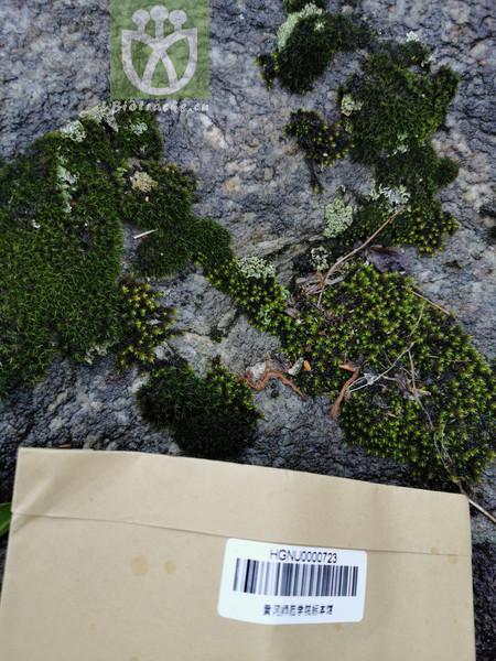 Halerpestes tricuspis var. intermedia