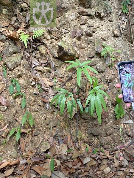 Lygodium longifolium