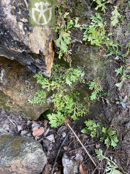 Selaginella tamariscina