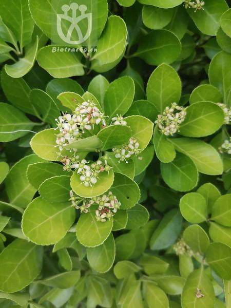 Euonymus sinensis
