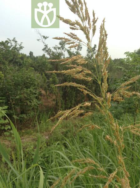 Triadenia aegyptiaca