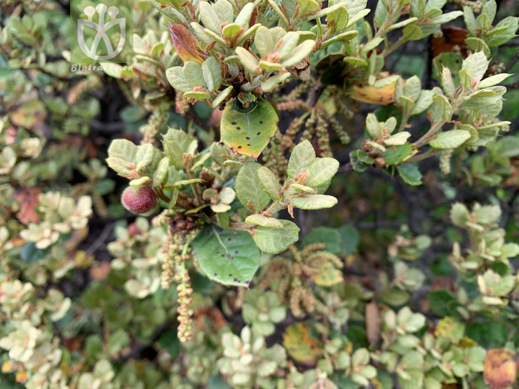 Quercus monimotricha