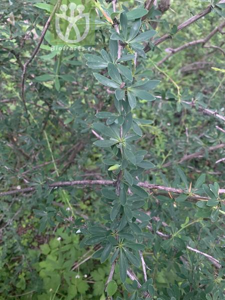 Kobresia pseuduncinoides