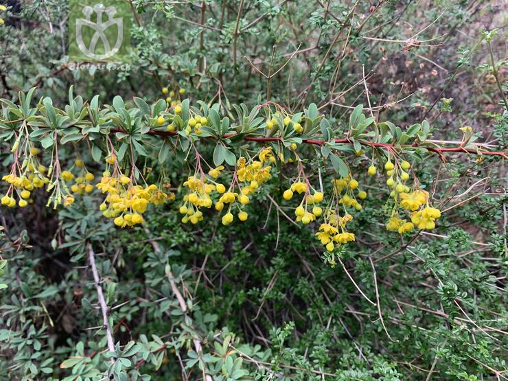 Peliosanthes macrophylla