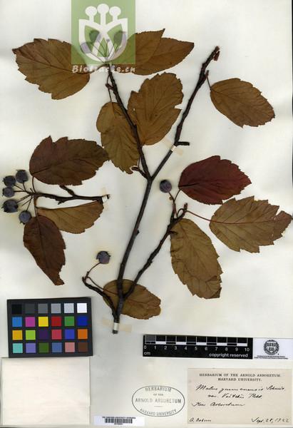 Malus yunnanensis var. veitchii
