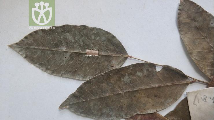 Cladrastis platycarpa