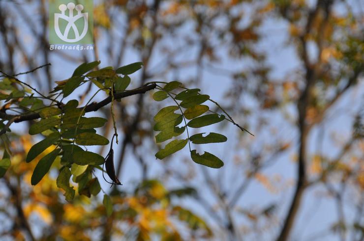 Gleditsia japonica