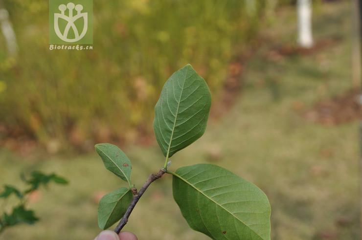 Magnolia borealis