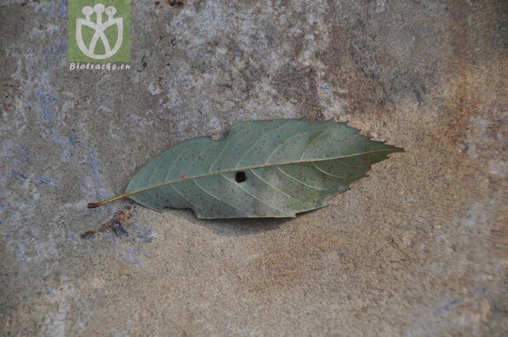 Lithocarpus chinensis