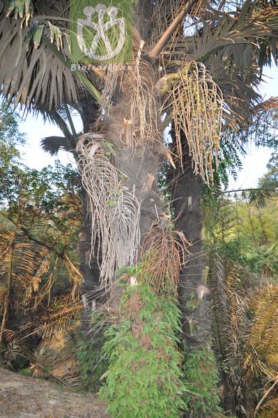 Elaeis guineensis