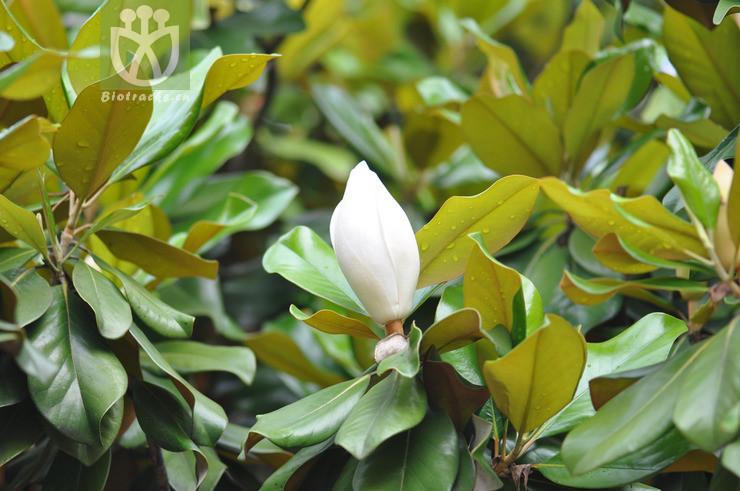 Magnolia grandiflora var. praecox