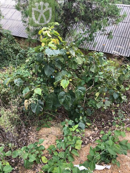 Potamogeton recurvatus