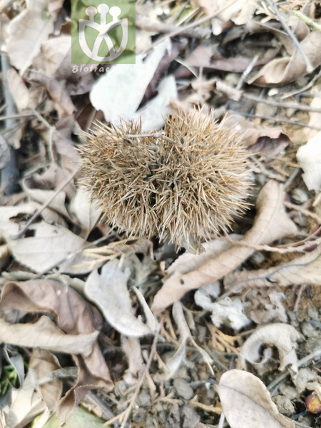 Castanea hupehensis