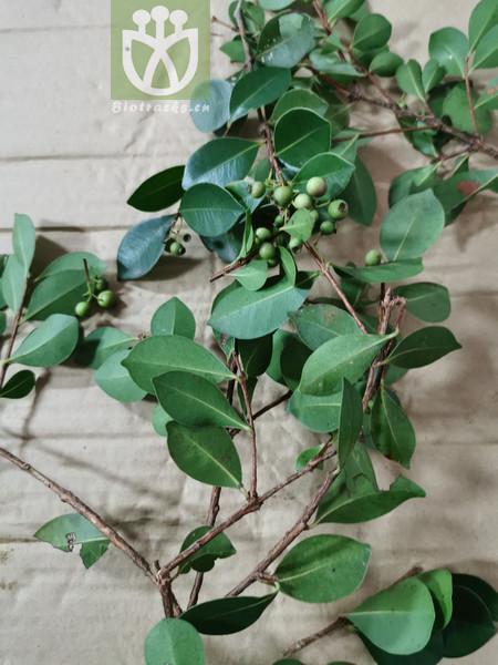 Syzygium somae