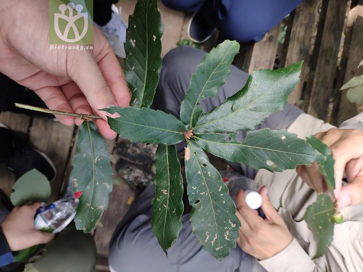 Quercus glandulifera var. stellatopilosa
