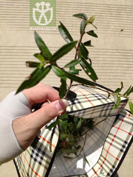 Salix chienii