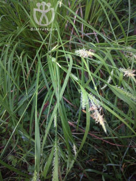 Artemisia latifolia
