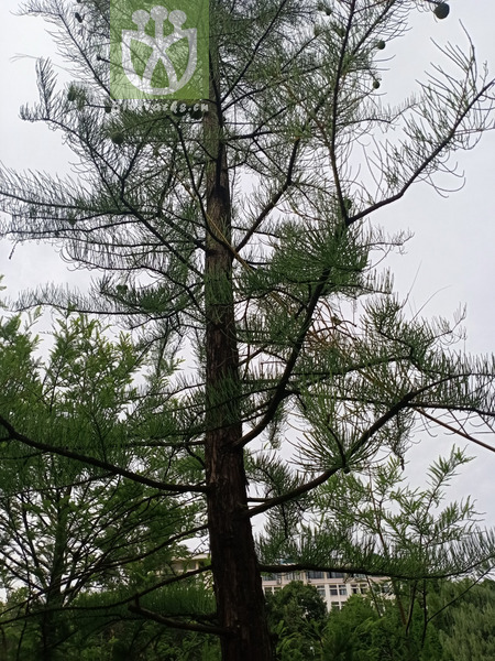 Taxodium japonicum