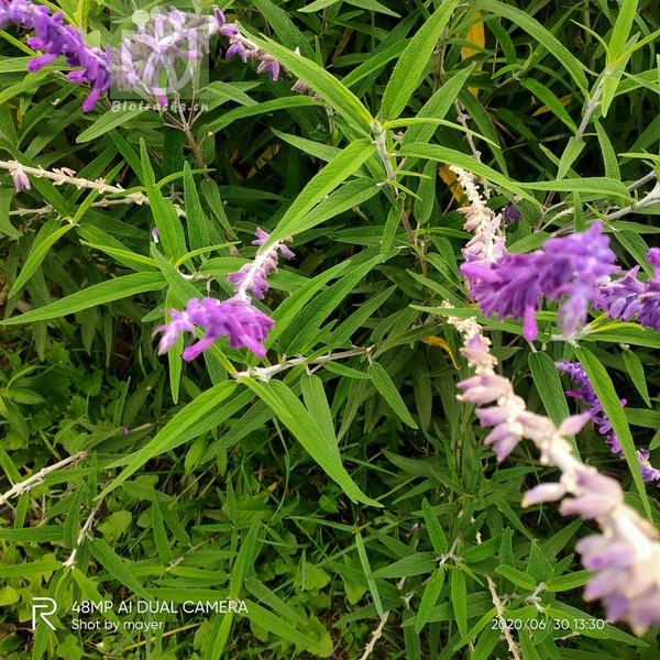 Aquilegia japonica