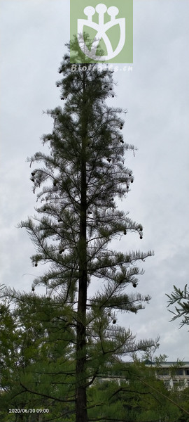 Glyptostrobus heterophyllus