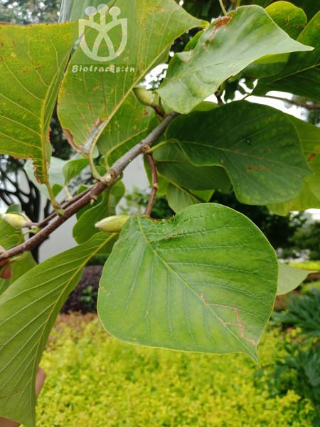 Magnolia spectabilis