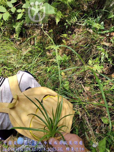 Aletris japonica