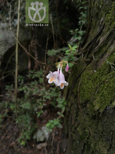 Abelia uniflora