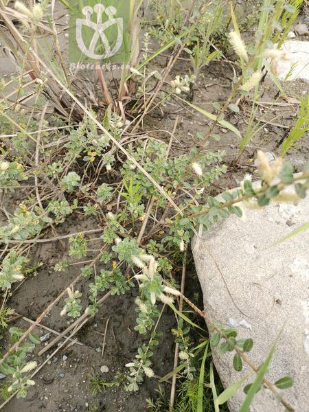 Salix caprea var. sinica