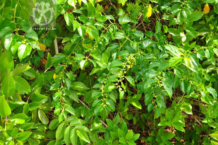 Colubrina asiatica