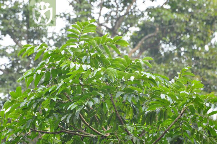 Canarium bengalense