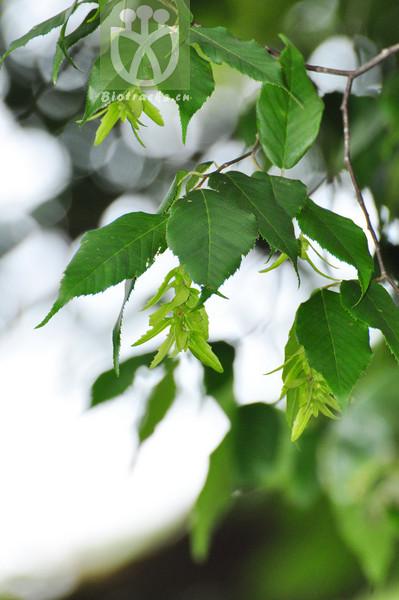 Carpinus austrosinensis