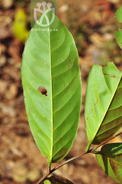 Salacia sessiliflora