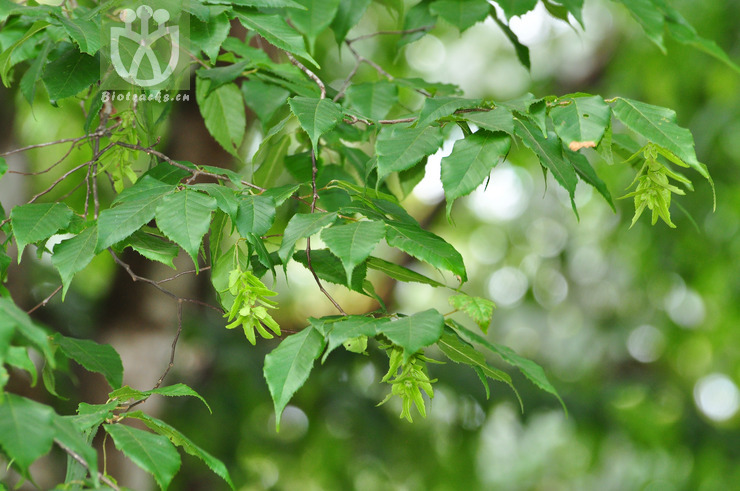 Carpinus pubescens var. pubescens