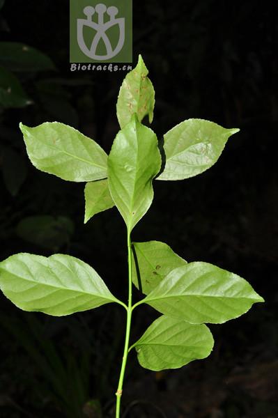 Euonymus kengmaensis