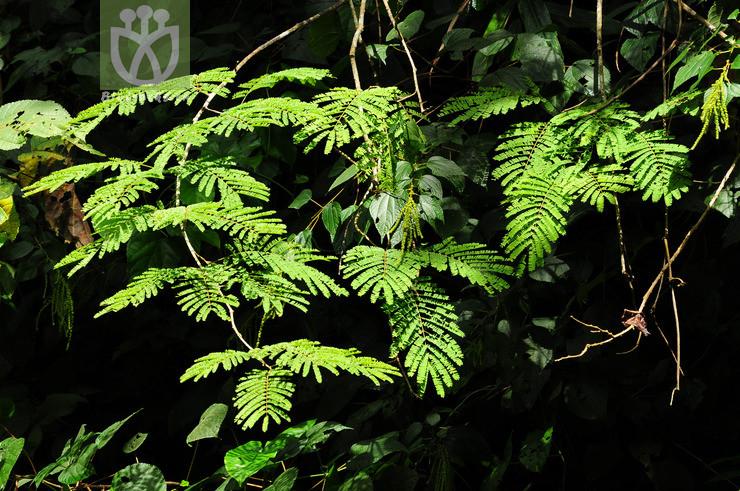 Acacia tonkinensis