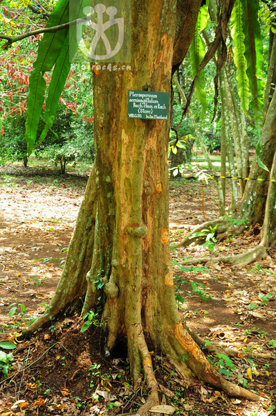 Pterospermum diversifolium