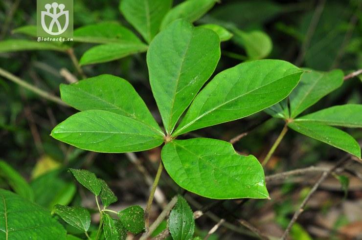 五叶薯蓣(dioscorea pentaphylla) (5).jpg图片