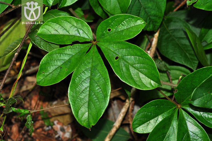 五叶薯蓣(dioscorea pentaphylla) (6).jpg图片