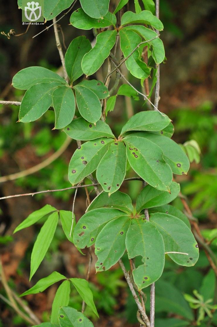 五叶薯蓣(dioscorea pentaphylla) (2).jpg图片