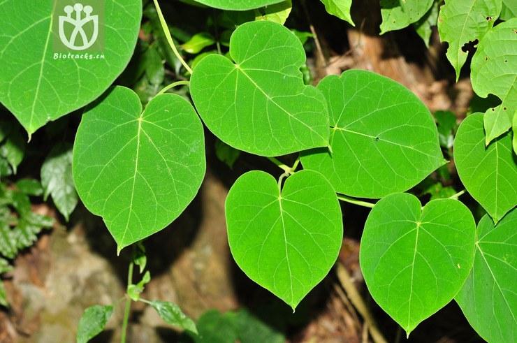 干无��il�l#��m9ia�i�9i�_灵药牛奶菜(marsdenia cavaleriei) (1).jpg