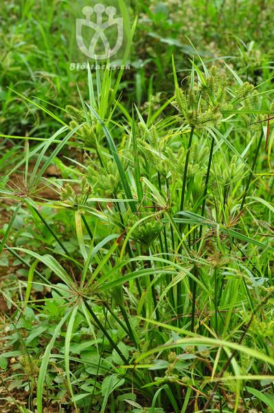 Mariscus cyperinus subsp. laxatus