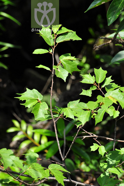 Pterospermum yunnanense